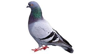 Ode al piccione