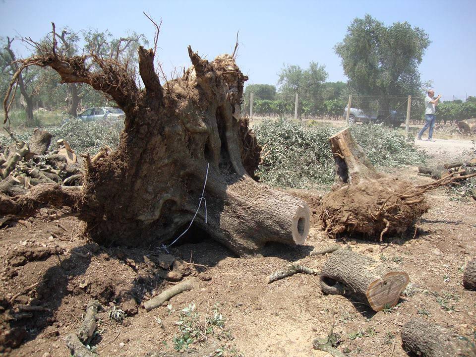 Espianto ulivi Piano di rigenerazione olivicola in Puglia