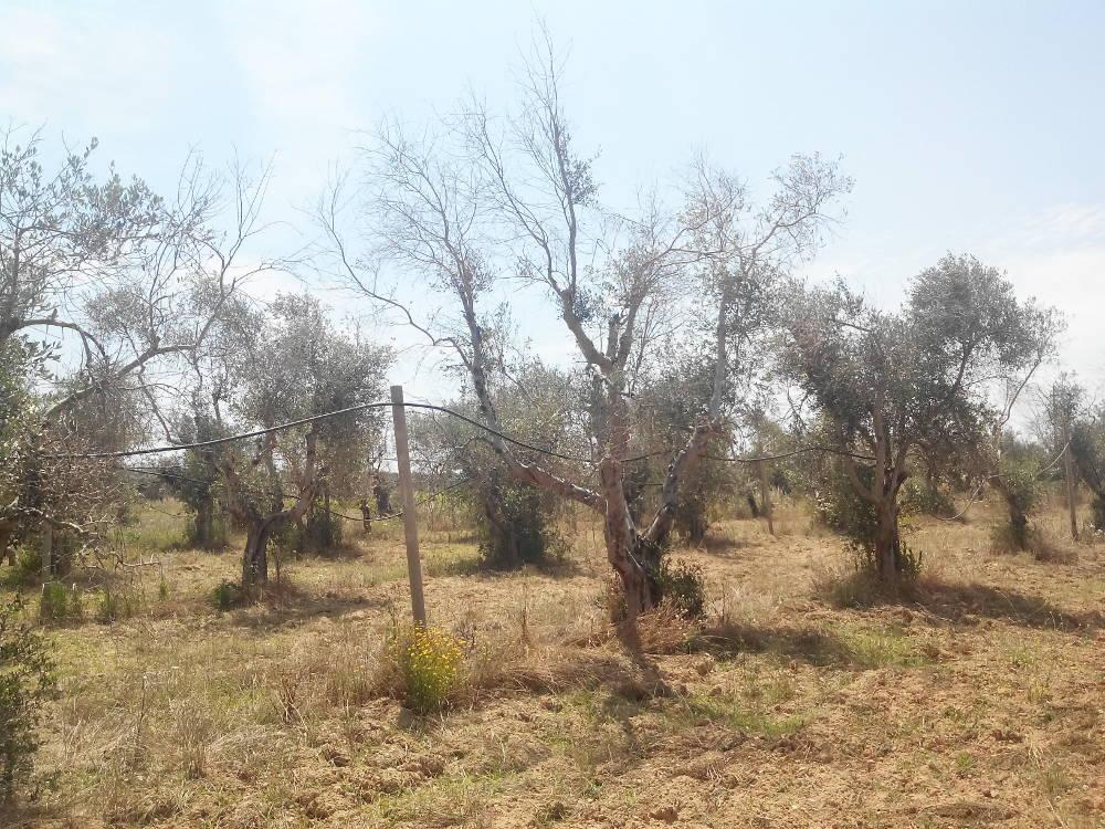albero varietà Leccino secco in agro di Gallipoli
