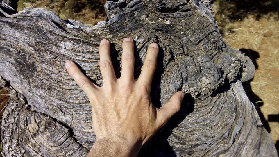 mano su tronco di ulivo