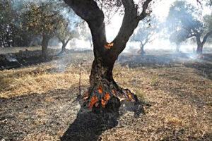 incendi ulivi secchi in Salento
