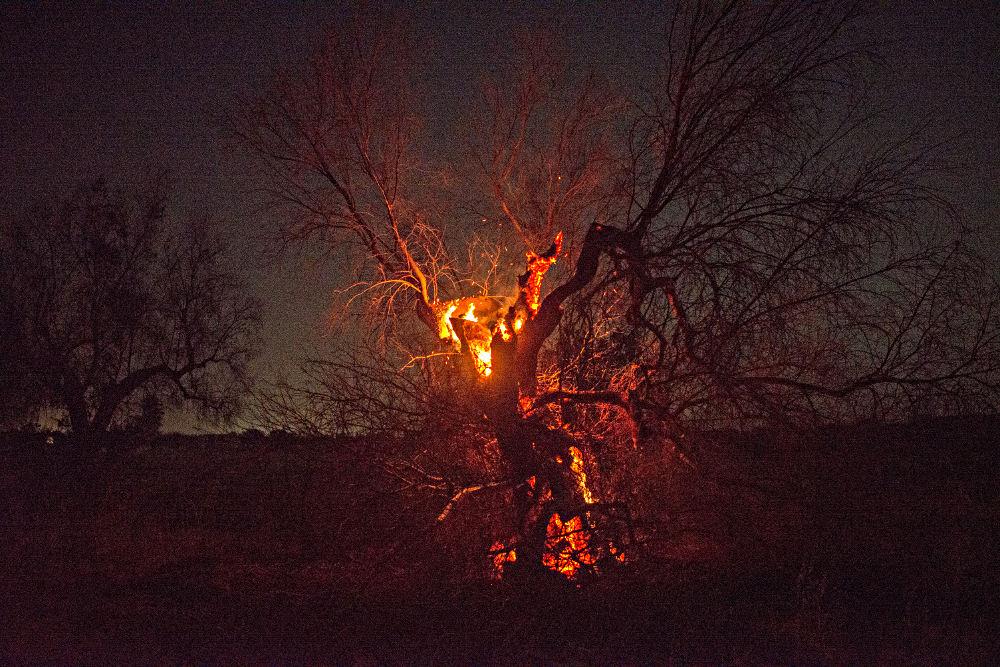Roghi nel Salento - ulivo incendiato a Copertino 24 giugno 2021